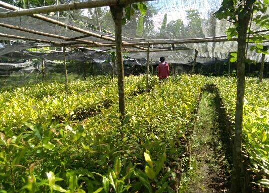 Ternyata Bisnis Bibit Tanaman Pertanian Di Desa Moyag Menjanjikan Lensa News